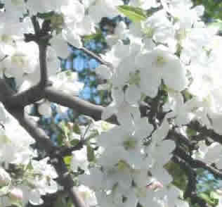 Apple Firewood: Apple Blossom