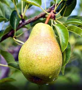 Burning Properties: Pear