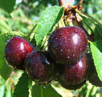 Burning Properties: Cherry