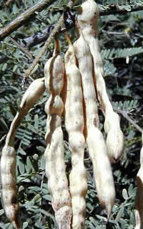 Mesquite Firewood: Mesquite Pods
