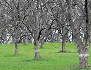 Pecan Firewood: Young Pecan Orchard
