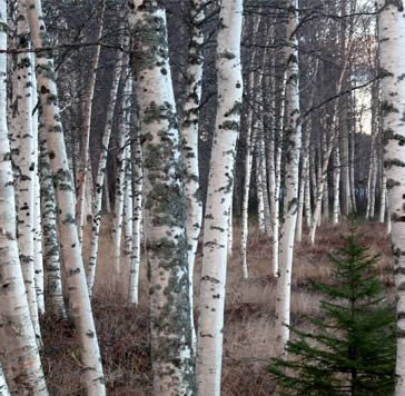 Birch Firewood: Trees