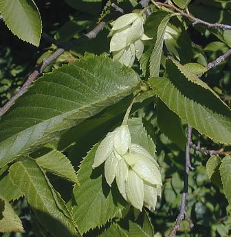 Burning Properties: Hornbeam